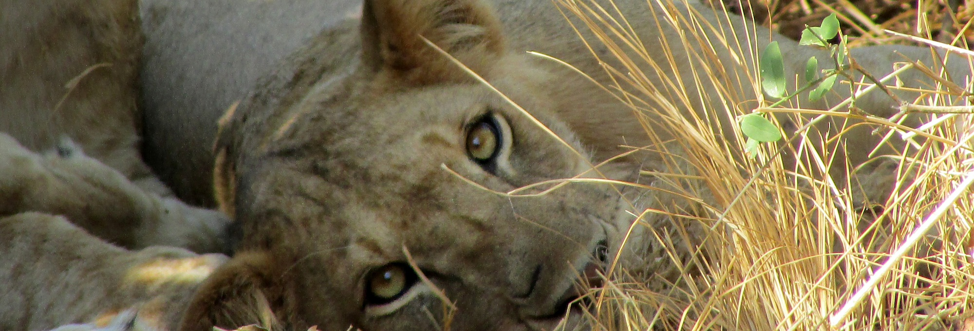 The moment when a lioness in the African savannah sticks his penetrating gaze on yours...