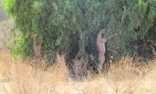 Gerenuc o antílope jirafa