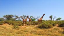 Jirafas de África