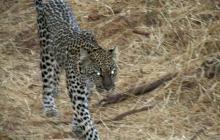 Diferencias entre leopardo y guepardo